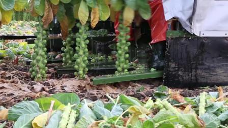 大型农场之蔬菜收割