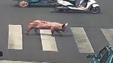 马路上被猪拦,上班又可以迟到了