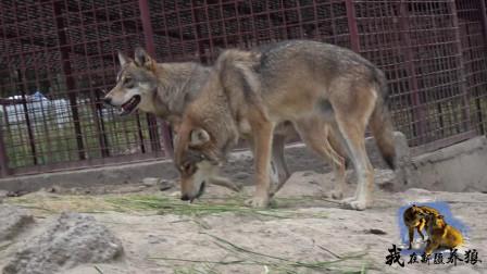 狼群这是食物中毒了吗?进食后开始呕吐,养狼人看着都心疼!