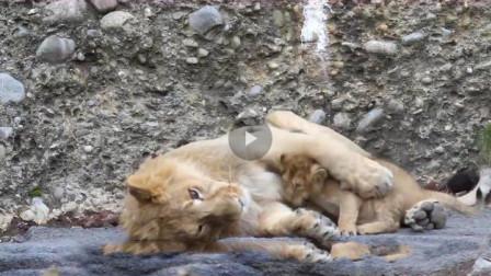 小狮子跟哥哥撒娇,哥哥不仅没发火,还把他抱在怀里!