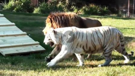 白虎与狮子谈恋爱,它们父母同意吗?镜头拍下温馨一幕!
