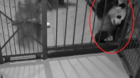 大熊猫越狱钻铁栏,对自己的身材太自信,最后全部饲养员前来救援!