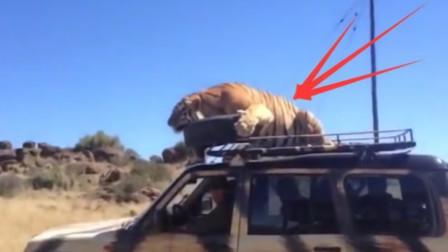 老虎坐在汽车顶部,男子慌了一脚踩向油门,下一秒意外发生