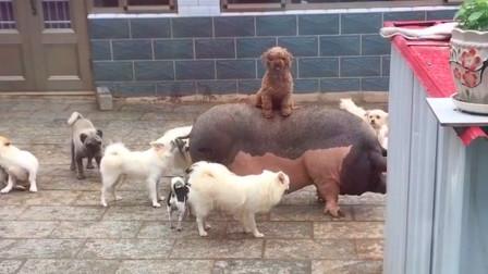 一看就真的,这狗子是狗中贵族吧?  不然怎么能骑猪呢