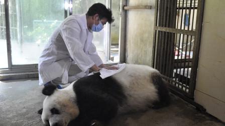 中国的大熊猫,死后尸体是如何处理的?说出来你肯定想不到!