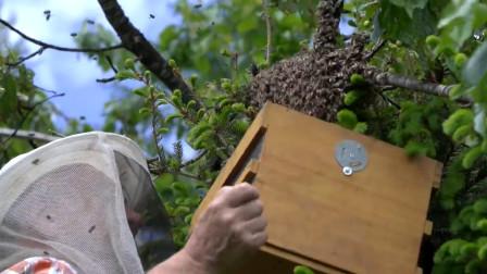老外为酿蜂蜜,单枪匹马捅马蜂窝驯养,还成功了