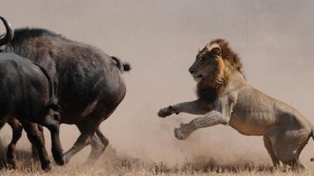 雄狮想捕食野牛,不料被野牛一头撞倒在地