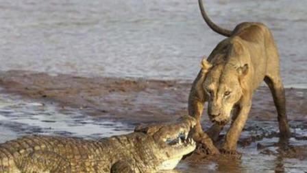 雄狮前后攻击无法战胜鳄鱼,鳄鱼果然老大