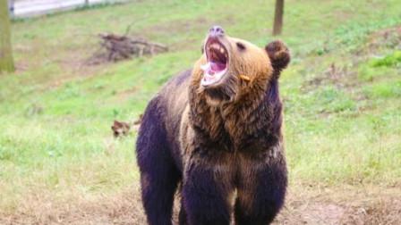雄狮和棕熊两头巨兽相遇,免不了要干一架