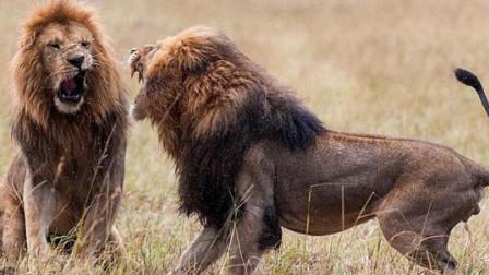 雄狮打架致死,为了王位必须战斗!