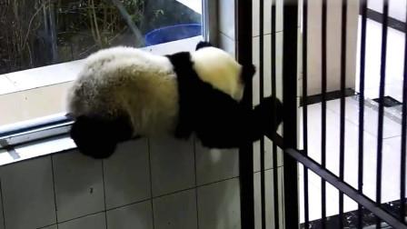 熊猫:这位小熊友终于因为爬高吃了苦头,为什么我会想笑