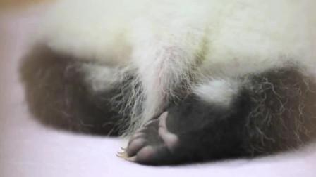 熊猫:一只精致的美熊,就算是不露脸,也能让粉丝流鼻血