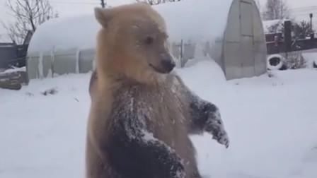 战斗民族小伙和300斤的熊玩雪,熊的发应太可爱了,网友:真像熊