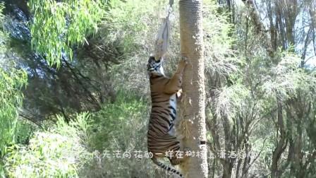 老虎上树追猴子,在树上刚准备飞扑,意外发生