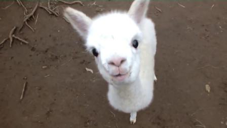 动物奇趣:羊驼被剪毛后画风突变,疯狂报复主人,看完请憋住别笑!