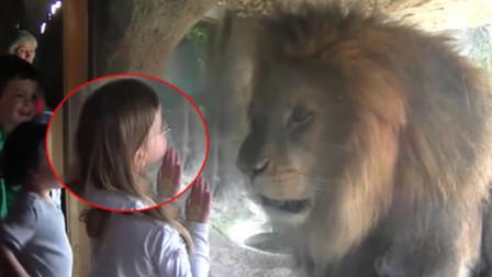 """狮子被小女孩隔玻璃""""亲了""""一口,狮子恋爱了,下一秒忍住别笑!"""