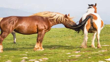 公馬初次遇見相親對象,男主人幫忙牽母馬 ,手足無措的樣子真好玩