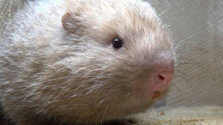 """华农兄弟:小伙给竹鼠喂竹子,发现有1只""""越狱""""跑了"""