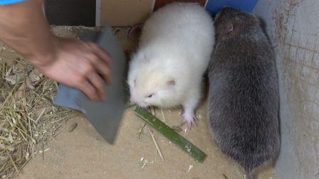 华农兄弟:养竹鼠多久搞一次卫生?看了这个视频你就知道了