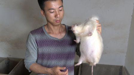 华农兄弟:养殖竹鼠如何选场地?养了1000多只竹鼠的小伙告诉你