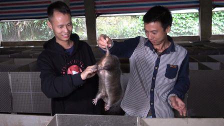 华农兄弟:美食作家王刚到华农兄弟家,现场直播烤竹鼠