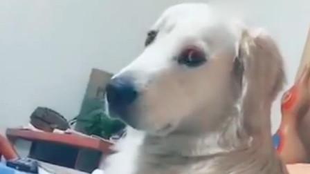 金毛回眸一笑百媚生,这狗子甚是撩人啊