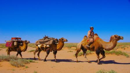 遇到死骆驼时能别碰就别碰,为什么会这么说呢?今天算长见识了
