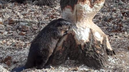 动物界的工程师海狸,修大坝,建水库,用牙砍大树无所不能!