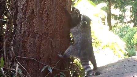干脆面宝宝不愿意学爬树,浣熊妈妈硬核教学,动物界的虎妈!