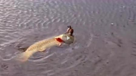 鱼把水鸟吞下水,鸟还在拿嘴啄鱼的头,镜头拍下全过程!