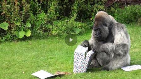 大猩猩过40岁生日,饲养员送了它一个礼物,镜头拍下搞笑一幕!