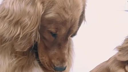 看见主人给别的狗吃面包,没有自己的份,金毛坐一旁生闷气