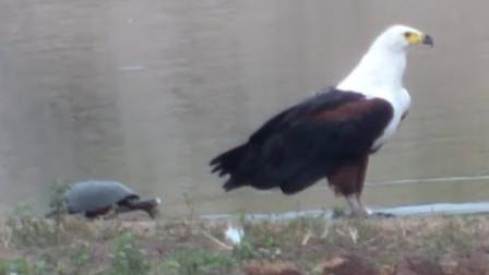 乌龟悄悄爬上岸,想要攻击老鹰,这是疯了吗?