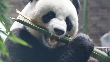 """[莞视频]""""国宝""""大熊猫来莞一周年 为其献上""""特制""""的生日蛋糕"""