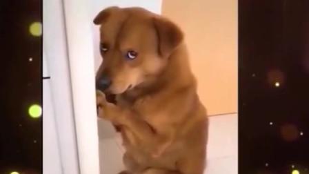 家庭幽默录像:狗狗犯错,主人教训它罚它面壁思过,确认过眼神这金毛很纯!