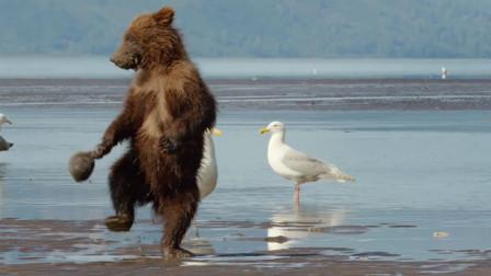 小棕熊玩贝壳时,被贝壳夹住了手,结果它的反应实在是太萌了