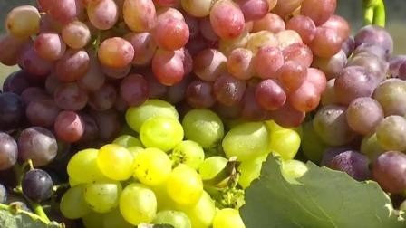 都市晚高峰 2019 第大兴区采育葡萄旅游文化节开幕