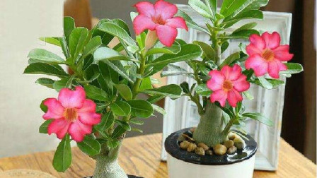 """养""""沙漠玫瑰"""",学会这""""3招"""",根系粗壮,开花又大又艳!"""