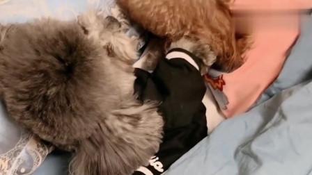 萌宠:泰迪崽崽装睡喊不醒,男主人威胁要去睡狗窝,真的太难了