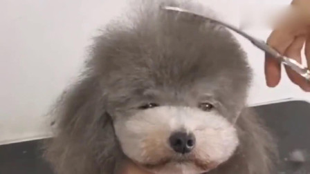 刚剪完没多久,又这么长了,难道是因为天气热狗毛长得快?