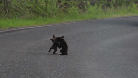 两头小熊在马路上打架,司机刚想插手,镜头一转立刻放弃!
