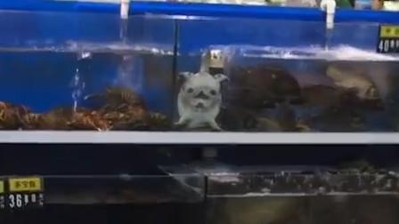 法斗怎么泡鱼缸了?近一看吓我一跳
