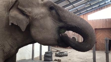 大象吃西瓜,鼻子一卷就往嘴里塞,这吃法可真少见!