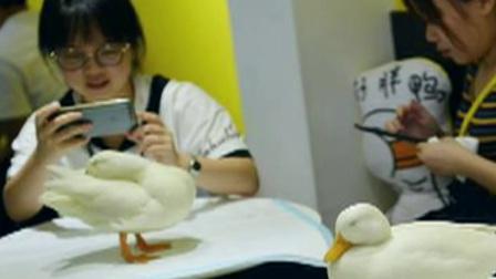 北京您早 2019 咖啡馆引进小鸭子当宠物 吸引年轻人