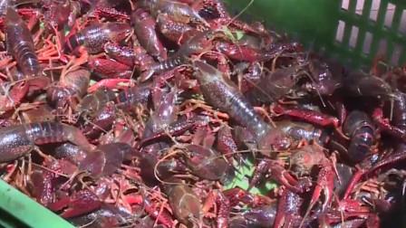 网红小龙虾今年卖不掉了?生意遇冷行业或将经历洗牌,价格便宜