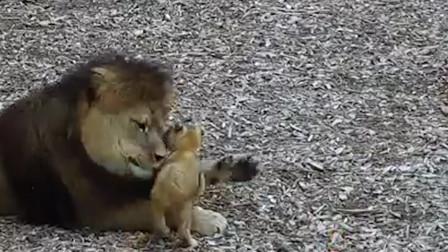 爸爸和妈妈带孩子有啥不同?看到这对狮子就知道了,太搞笑了!