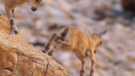 悬崖万丈,一群小羊从万丈深渊跳下去?结果却令人惊喜!