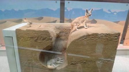 为什么狐狸总喜欢往坟墓里钻?是要修炼成精吗?看完涨知识了!