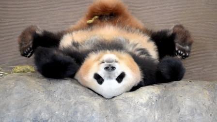 大熊猫骨骼惊奇,倒立睡觉看呆日本游客,纷纷感叹:斯国一得内!