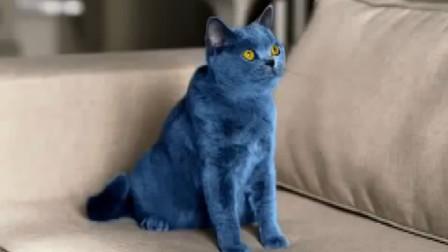 """女子花数万元买""""蓝猫"""",一个月掉光颜色,这是啥品种?"""